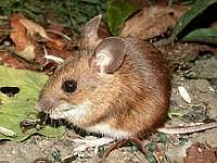 wood or field mouse